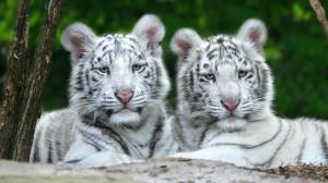 White Tigers HD